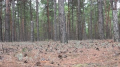 Rapid movement through forest of pine Stock Footage