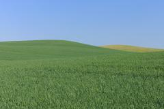 Wheat Field with Clear Sky, Mecklenburg-Vorpommern, Germany - stock photo