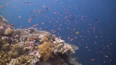 Coral reef with Grouper, Anthias and Fusilier Stock Footage