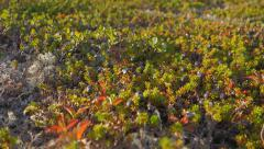 Tundra Berries and Moss Slow Slide Low Stock Footage