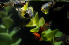 Guppy multi colored fish Stock Photos