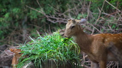 Red Deer, couple mom and baby enjoy eating green grass Stock Footage