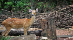 Red Deer stand with big tree and looking for food Stock Footage