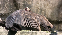 Hooded Vulture on rocks - stock footage