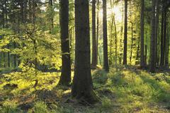 Sunlight shining through silhouetted tree trunks in a forest in Germany Stock Photos