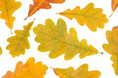 autumn oak leaves isolated on white - stock photo