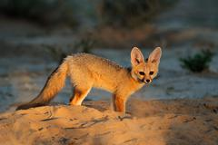 Cape fox outside its den in early morning light - stock photo