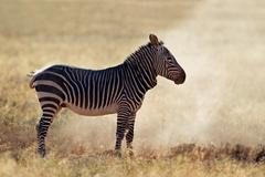 Mountain zebra in dust - stock photo