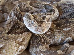 Puff adder snake ready to strike - stock photo