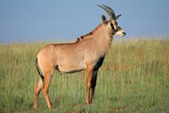 Roan antelope standing in grassland - stock photo