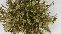 Time-lapse of opening Rose of Jericho (Resurrection Plant) Stock Footage
