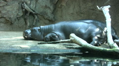 Young hippos lying near water pool Stock Footage