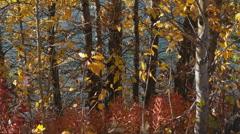Autumn Birch Leaves Lake in Wind HD Stock Footage