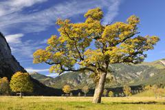 Maple Tree in Autumn, Grosser Ahornboden, Karwendel, Eng, Tyrol, Austria Stock Photos
