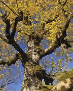Maple Tree in Autumn, Grosser Ahornboden, Karwendel, Eng, Tyrol, Austria - stock photo