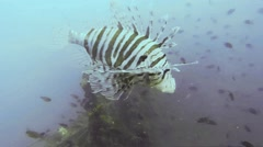 Common lionfish (Pterois) Stock Footage