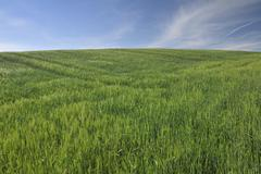 Grain Field, Edertal, Hesse, Germany - stock photo