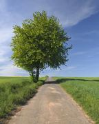 Country Road and Cherry Tree, Edertal, Hesse, Germany - stock photo