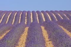 English Lavender Field, Valensole, Valensole Plateau, Alpes-de-Haute-Provence, Stock Photos