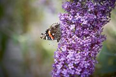 Butterfly Resting on Buddleia Davidii, Toronto, Ontario, Canada Stock Photos