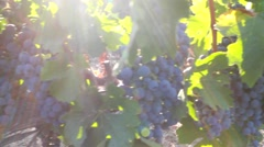 Grape vineyard Stock Footage