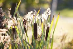 Stock Photo of Cattails, Muskoka, Ontario, Canada