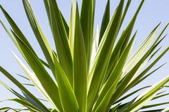 Stock Photo of close up of an agave with blue sky