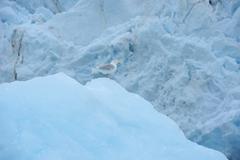 Seagull, Monacobreen Glacier, Haakon VII Land, Spitzbergen, Svalbard, Norway Stock Photos