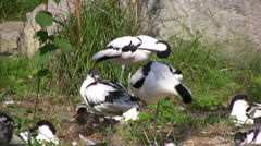 Several Pied Avocet on a grass bank Stock Footage