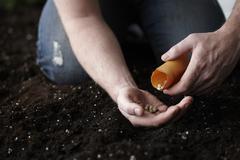Man Planting Nasturtium Seeds in Garden Stock Photos