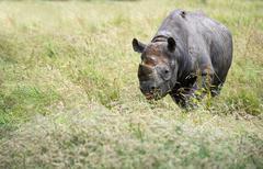 black rhinoceros diceros bicornis michaeli in captivity - stock photo