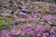 Broad-Leaved Willowherb, Romer Fjord, East Greenland, Greenland - stock photo