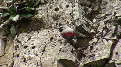 Small bird Wallcreeper walking on the mountain rocks Stock Footage