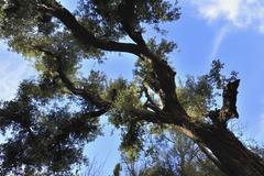 Holm Oak, Ourika Valley, Atlas Mountains, Morocco - stock photo