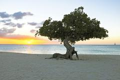 divi divi tree on aruba island in the caribbean - stock photo