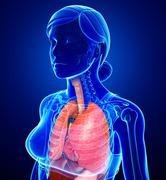 Stock Illustration of female respiratory system