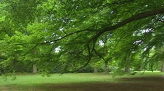 Large branch of a Beech tree (Fagus sylvatica) above lawn + pan footpath Stock Footage