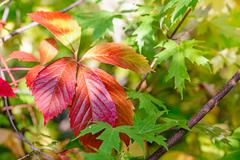 Red viginia creeper and maple leaves Stock Photos