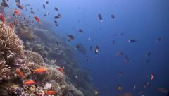 A sloping reef with a Napoleon wrasse and many small fish Stock Footage