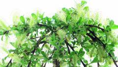 Time-lapse of growing bonsai arbuscula tree Stock Footage