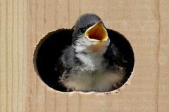 Baby tree swallow in a bird house Stock Photos