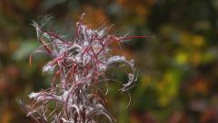 Autumn Colors Background Foliage to Fireweed Fluff Rack Focus HD - stock footage