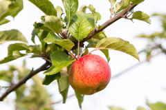 One apple at tree in sunlight, several leaves Stock Photos