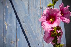 Beautiful pink hollyhock flower against blue wooden planks background Stock Photos