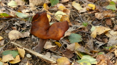 Gyromitra infula mushroom, 4k Stock Footage