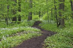 Footpath through spring beech forest and Ramsons (Allium ursinum) with lush Stock Photos