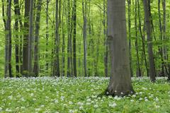 Spring forest with Ramsons (Allium ursinum) lush green foliage. Hainich National Stock Photos