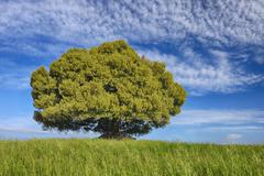 Holm Oak (Quercus ilex)  standing alone in meadow with dramatic sky. Tuscany, - stock photo
