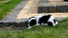Cavalier King Charles Spaniel puppy playing in the garden Stock Footage
