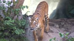 Tiger walking Stock Footage